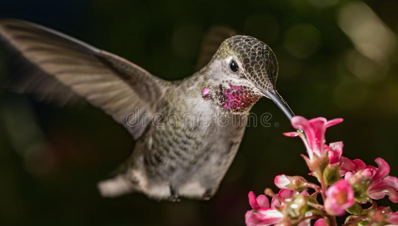The beauty queen and the pink flowers. This is a photograph of a hummingbird visiting pink flowers stock images