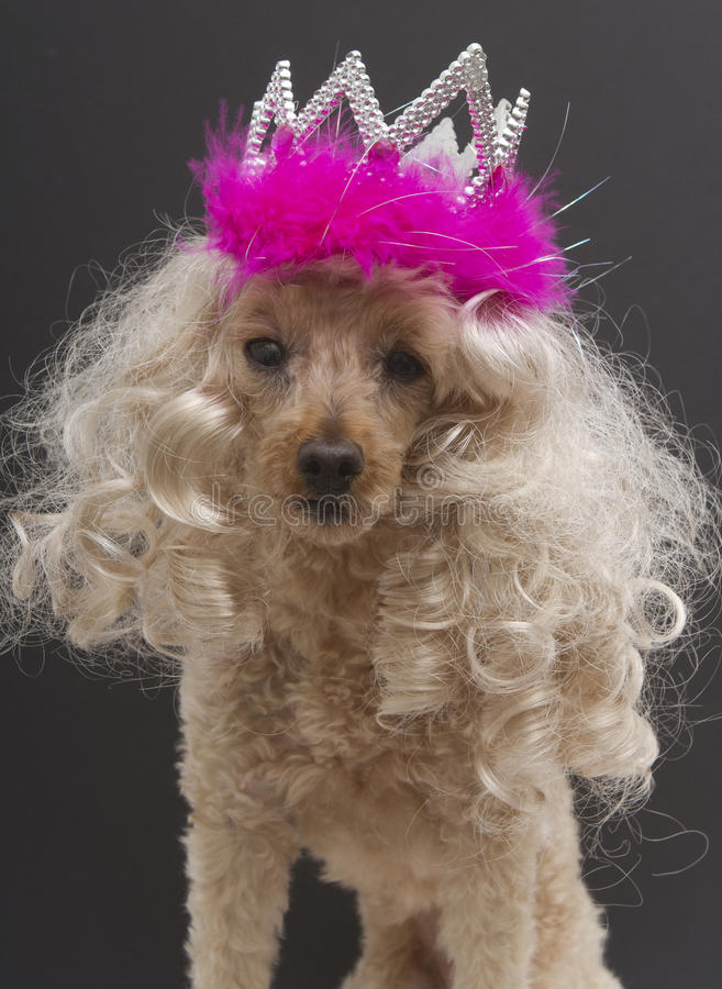 Beauty Queen Poodle. A poodle looks like a beauty queen with her long blonde hair and tiara, isolated on a gray background royalty free stock photo