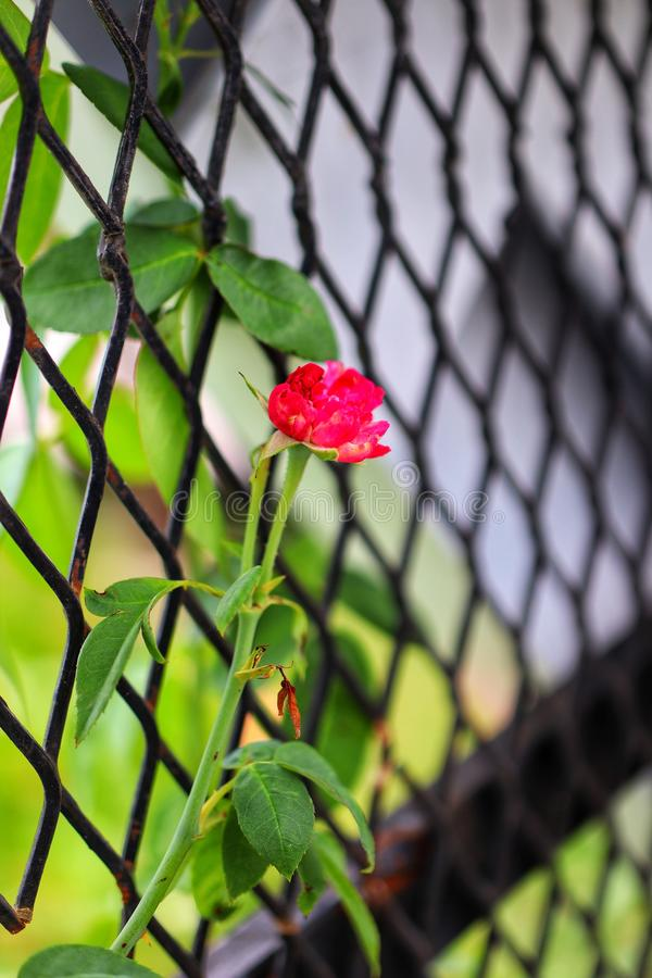 The beauty of the red rose on a metal fence stock photography