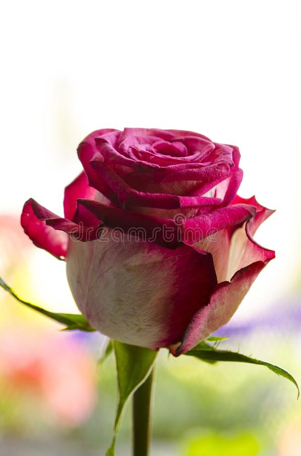 Beauty of red white rose stock photos