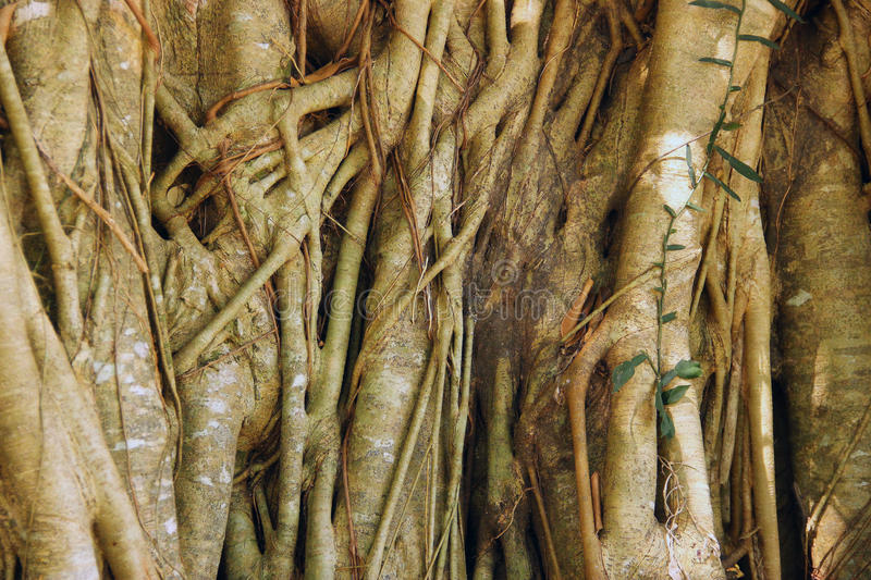 The beauty of roots. royalty free stock image