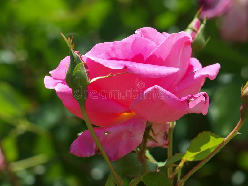 Beauty In A Rose Unfolds. This rose bush is one of many outside the main water facility for the  Water Department in Dallas royalty free stock images