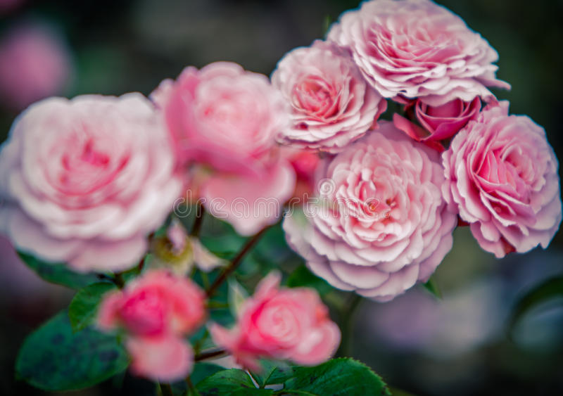 Beauty of Roses stock photos