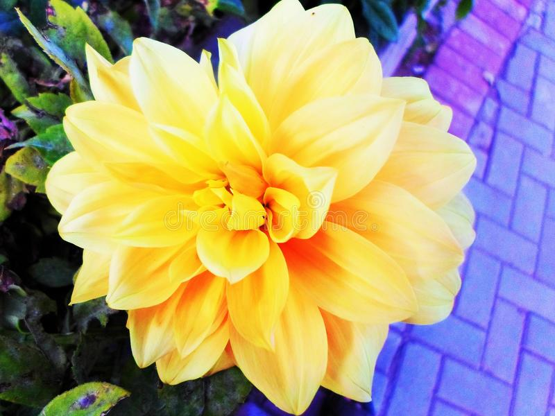 Yellow Flower opens each angle of its beauty stock photos