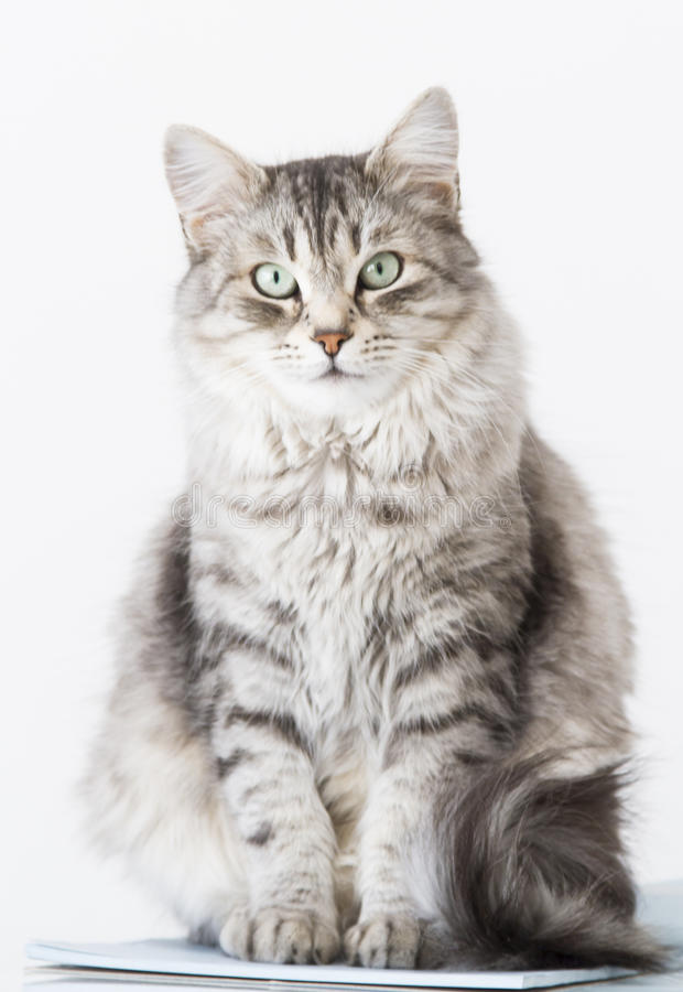 Beauty silver cat of siberian breed on a copybook. Sweet kitten of siberian breed, silver version stock photos