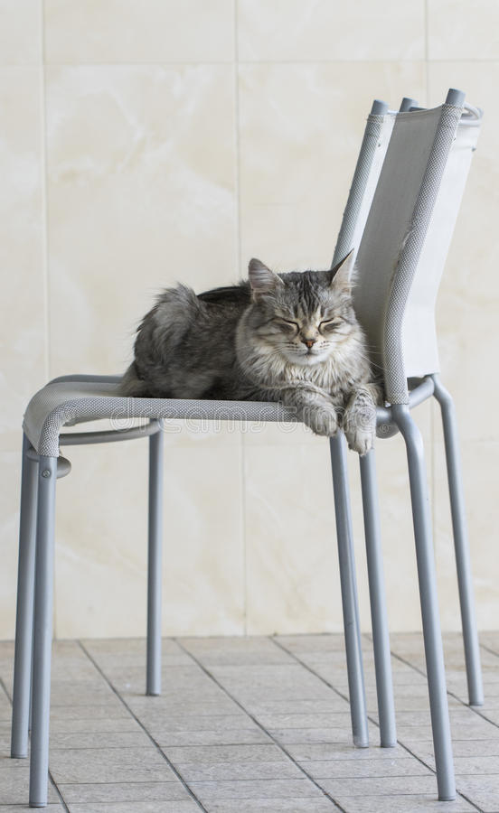 Beauty silver cat of siberian breed female lying on a chair in sleeping time stock photography