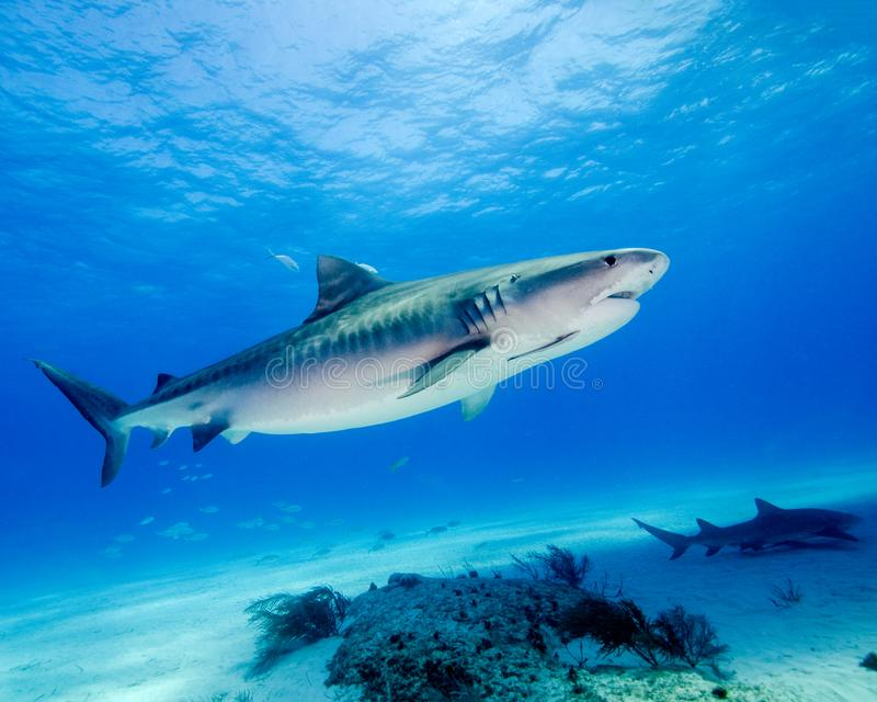 The Beauty of the Stripes of a Tiger Shark in the Bahamas stock photography
