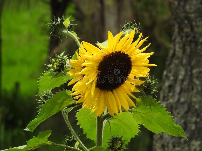 Beauty of sun flower at Garden royalty free stock photo