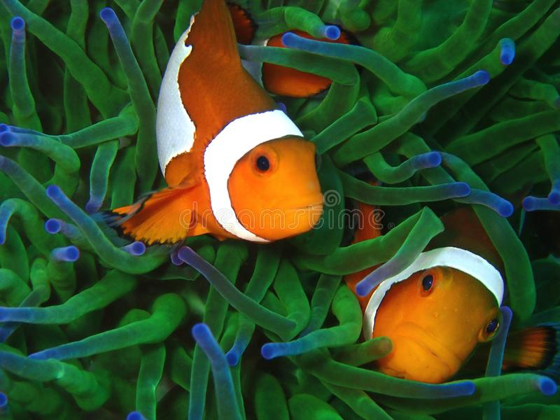 The beauty of underwater world diving in Sabah, Borneo. royalty free stock photo