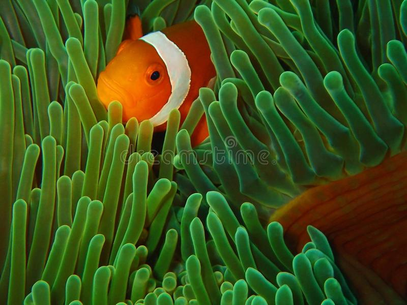 The beauty of underwater world in Sabah, Borneo. royalty free stock images