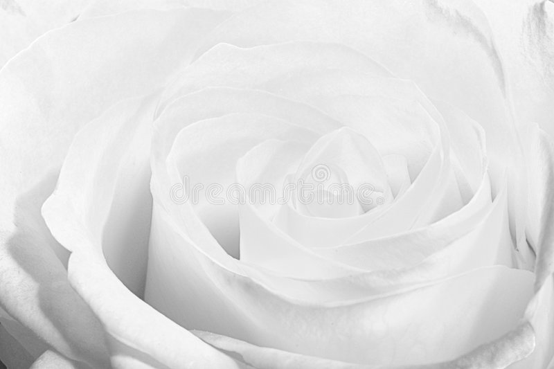 Beauty white rose. royalty free stock photo