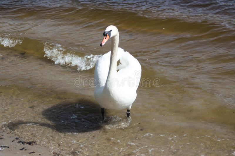 Beauty white swan walking in the blue lake stock photography