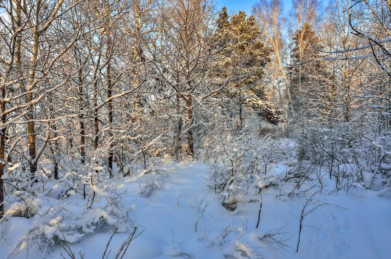Beauty of winter nature - frosty and snowy woodland landscape. Beauty of winter nature - fairy tale of snowy forest. Bright sunny day, white trunks of birch royalty free stock images