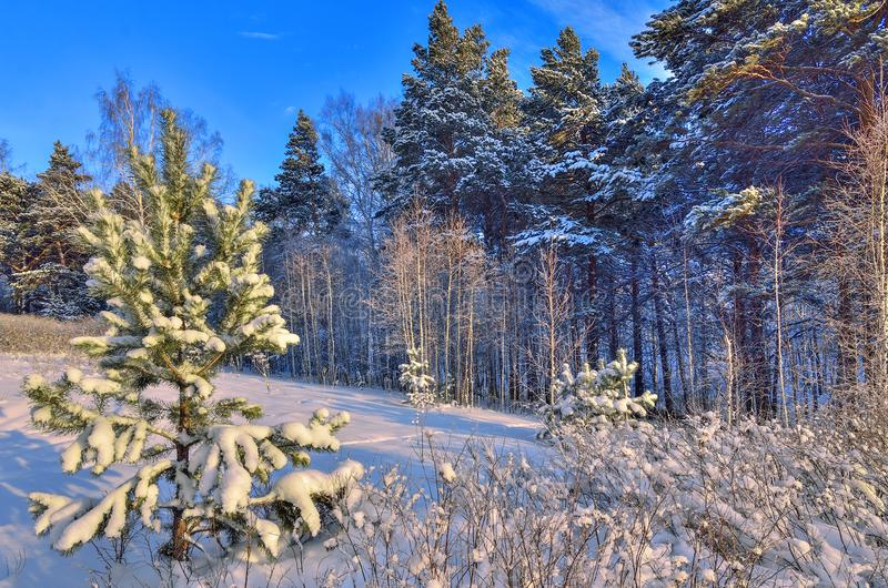 Beauty of winter nature - frosty and snowy woodland landscape. Beauty of winter nature - fairy tale of snowy forest. Bright sunny day, white trunks of birch stock images