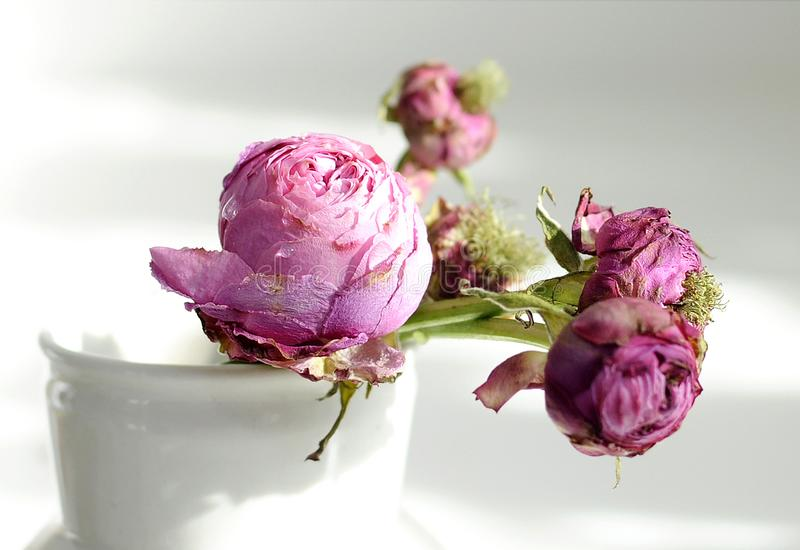 Withering roses. The beauty of withering purple roses stock photos