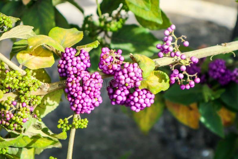 beautyberry είναι ένα γένος των θάμνων και των μικρών δέντρων στοκ εικόνες