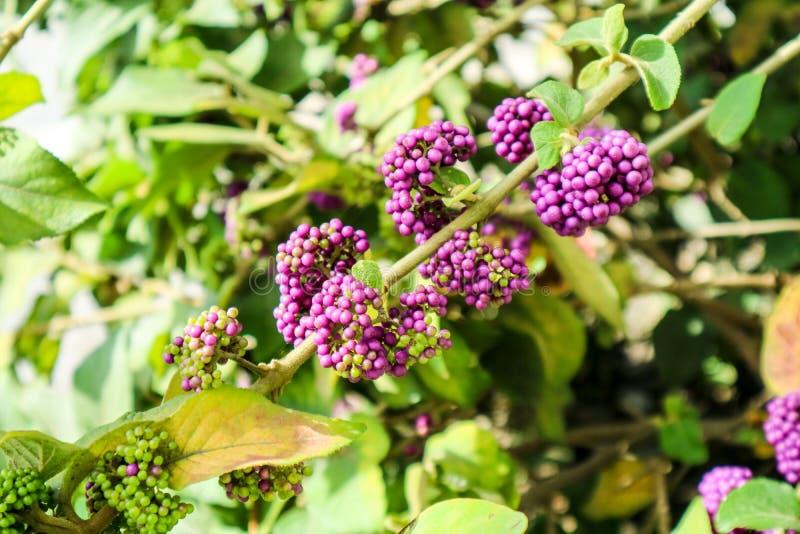 beautyberry είναι ένα γένος των θάμνων και των μικρών δέντρων στοκ εικόνες με δικαίωμα ελεύθερης χρήσης