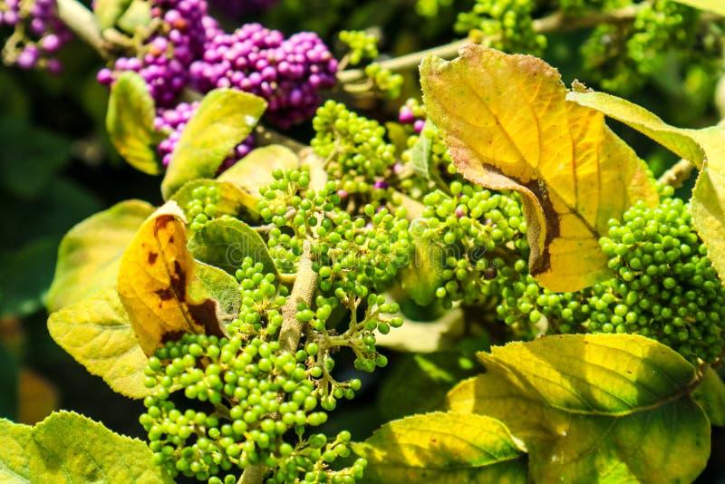 beautyberry είναι ένα γένος των θάμνων και των μικρών δέντρων στοκ φωτογραφίες με δικαίωμα ελεύθερης χρήσης