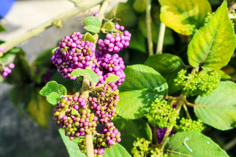 beautyberry είναι ένα γένος των θάμνων και των μικρών δέντρων στοκ φωτογραφία με δικαίωμα ελεύθερης χρήσης