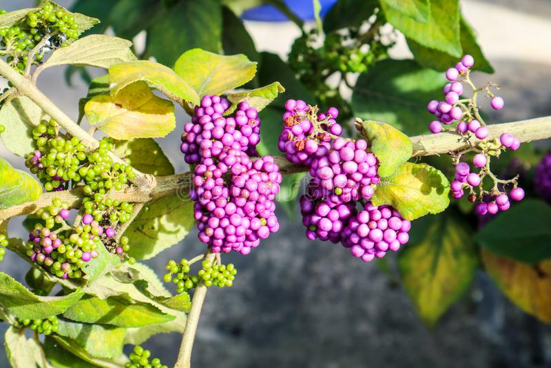 beautyberry είναι ένα γένος των θάμνων και των μικρών δέντρων στοκ φωτογραφία
