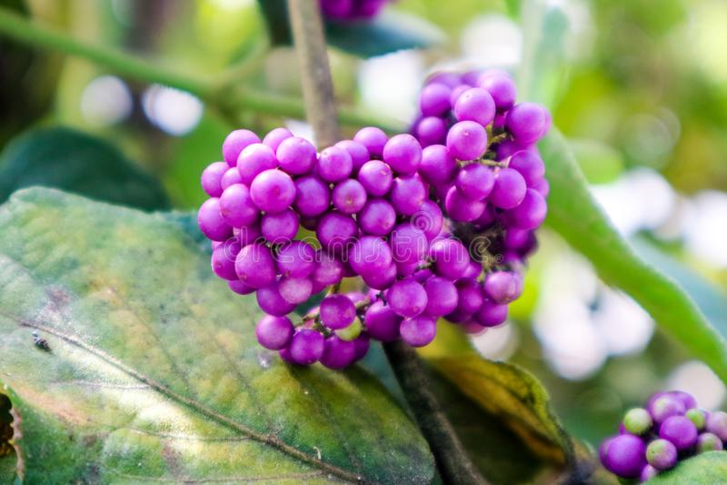 beautyberry είναι ένα γένος των θάμνων και των μικρών δέντρων στοκ φωτογραφίες