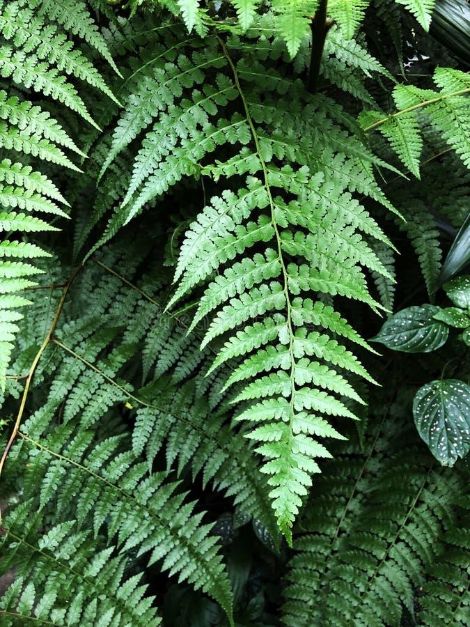 Beautyful蕨留给绿色叶子自然花卉蕨背景 库存图片