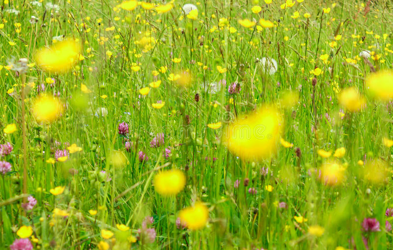Beautyful blooming flowers bakcground. An alpine meadow in springtime stock images