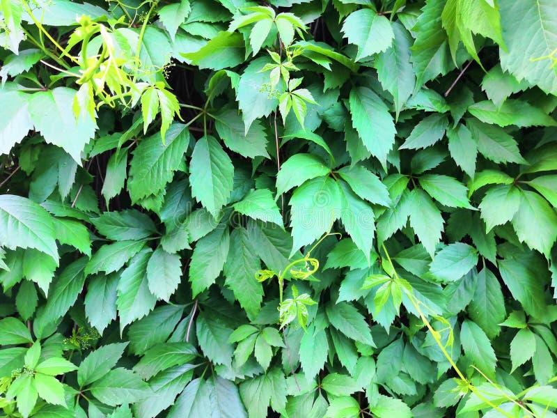 Beautyful bluszcza liści zielonego ulistnienia rośliny naturalny kwiecisty tło w świetle słonecznym zdjęcia royalty free