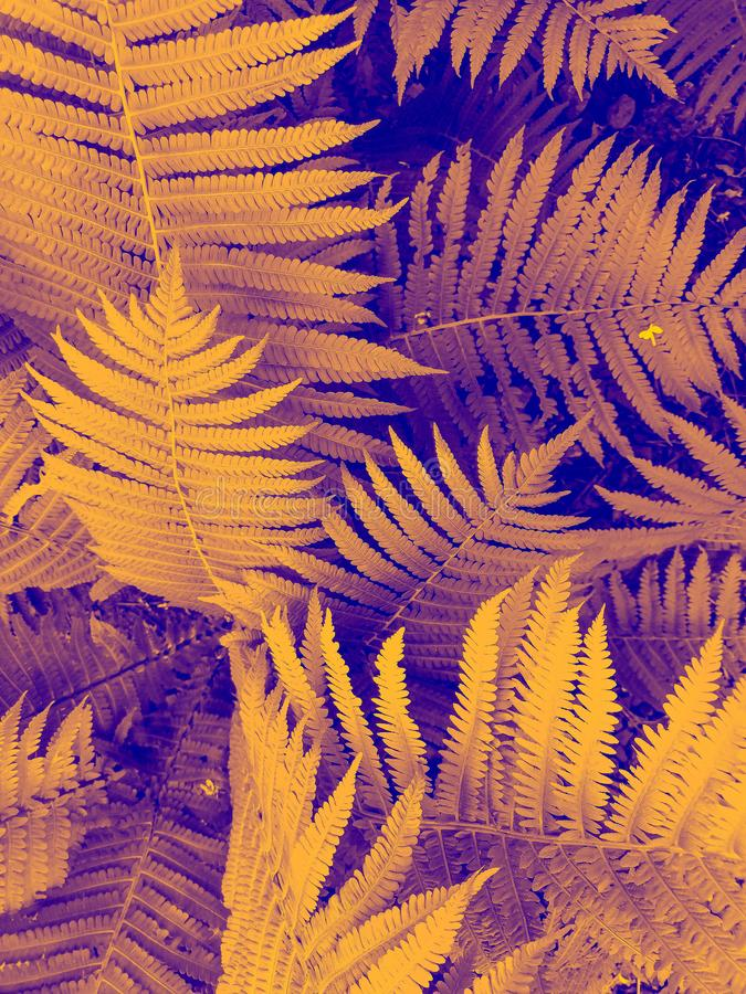 Beautyful ferns leaves yellow foliage natural floral fern background in sunlight stock photo