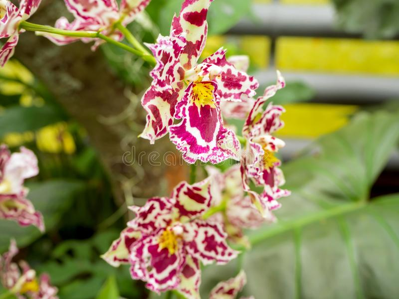 Beautyful flower: Orchids or Miltonopsis, royalty free stock photos