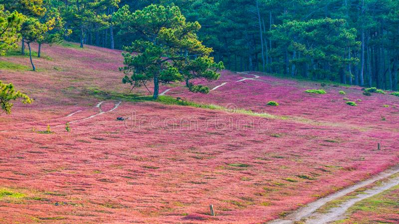 Da lat, lam dong, Vietnam- feb 12, 2017:The beautyful landscape of da lat city, pinkgrass field on the pine hill, the grass bbloo royalty free stock image