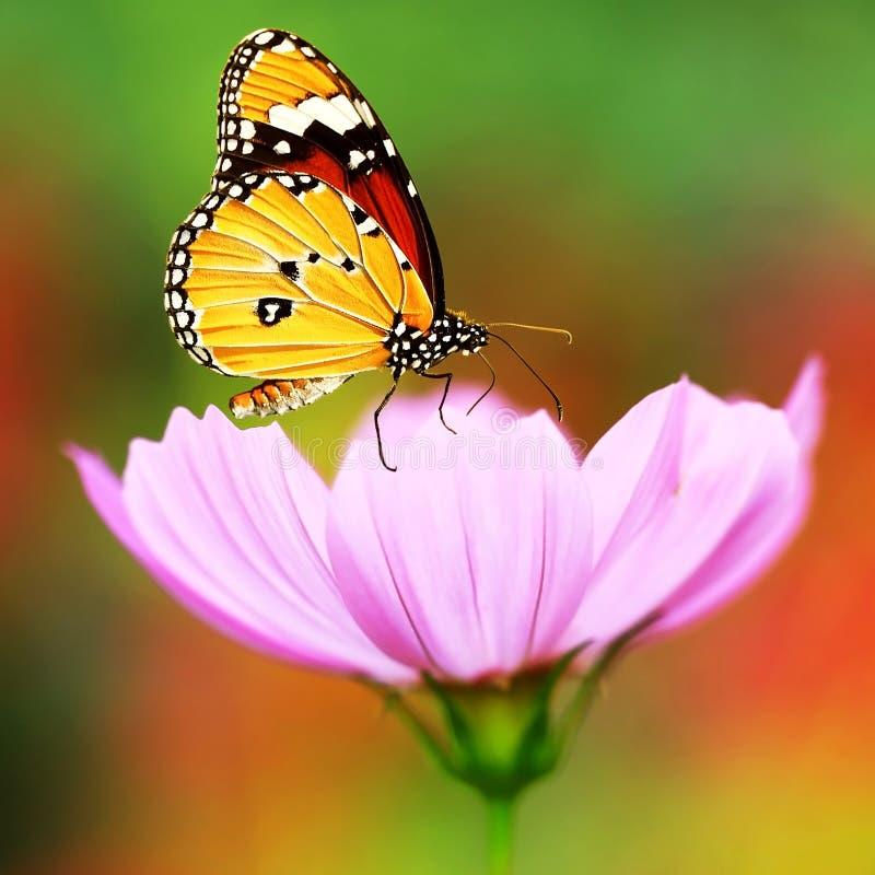 Beautyful monarkfjäril på blomman royaltyfria bilder