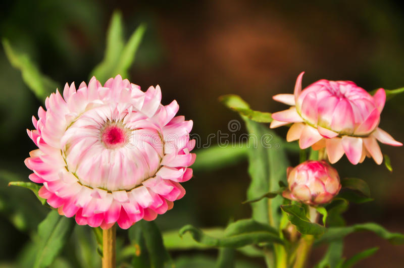 Beautyful różowy wiecznotrwały kwiat zdjęcie stock