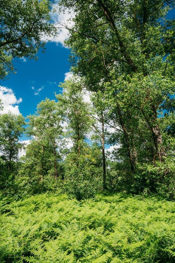 Beautyful sommar Forest Ferns Leaves Green Foliage arkivbild