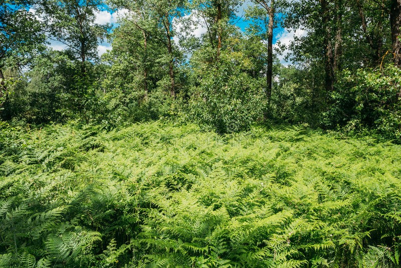 Beautyful sommar Forest Ferns Leaves Green Foliage royaltyfri foto