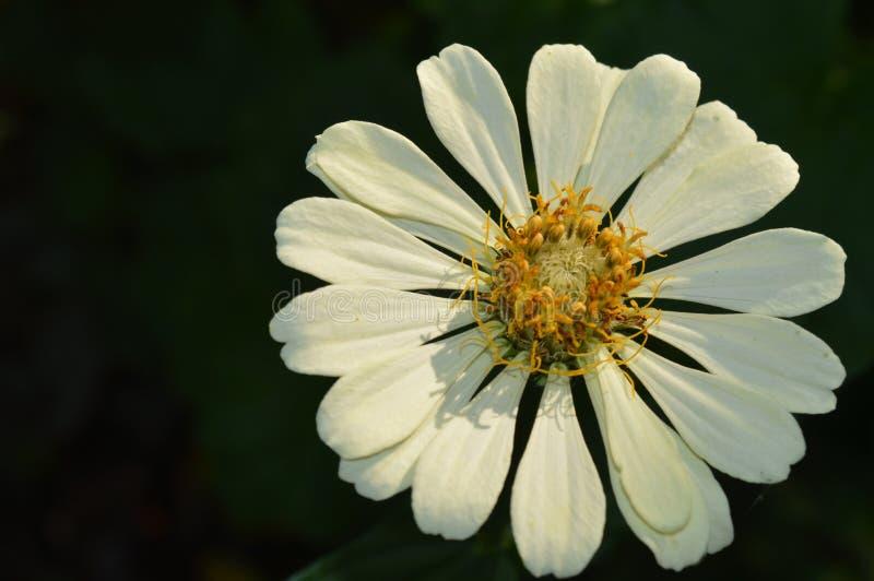 Beautyful White zinnia Flower in Garden stock photo