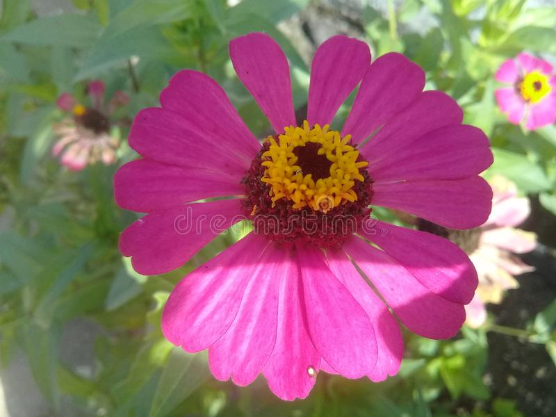 Beautyfull pink flower green leaf royalty free stock photography