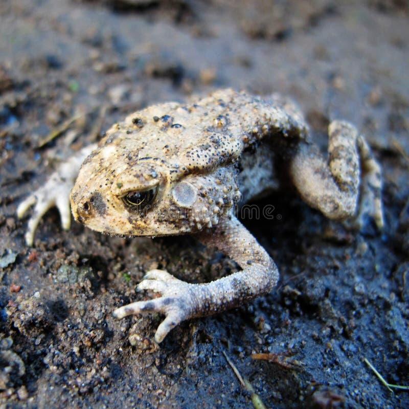 Beaux amphibies de grenouille animaux images libres de droits