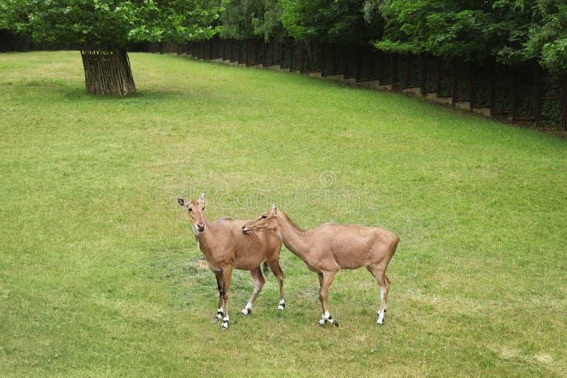 Beaux animaux ongulés sur l'herbe verte images stock