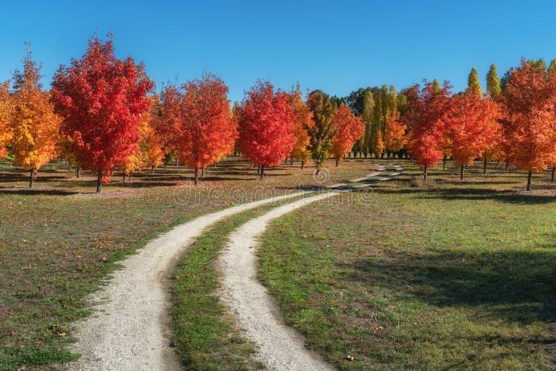 Beaux arbres d'érable d'automne sur un chemin de terre dans Roxburgh photographie stock libre de droits