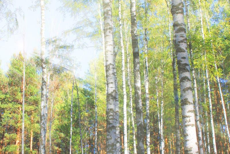 Beaux arbres de bouleau avec l'écorce de bouleau blanc dans le verger de bouleau avec les feuilles vertes de bouleau contre la SK images libres de droits