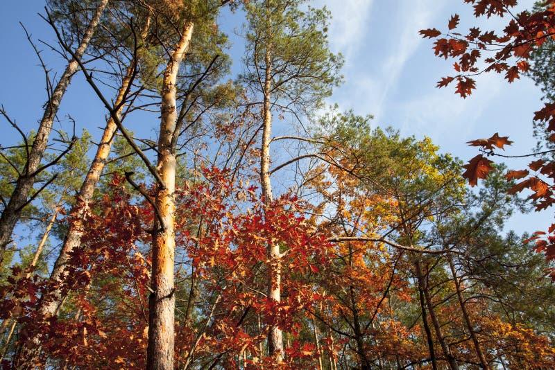 Beaux arbres et pins d'automne dans la forêt orange et les arbres rouges illuminés par le soleil un jour d'automne photo stock