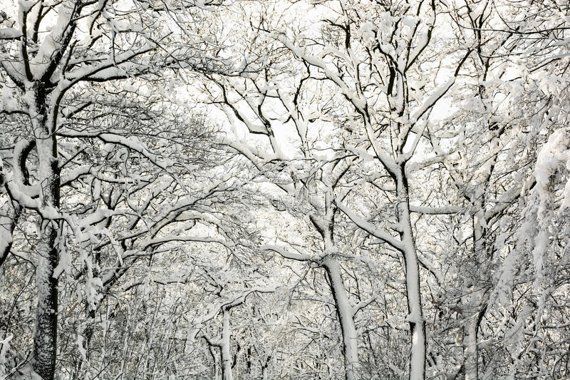 Beaux arbres neigeux d'hiver, scène naturelle photo libre de droits