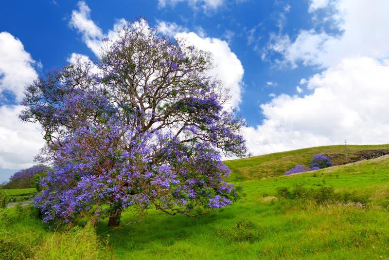 Beaux arbres pourpres de jacaranda fleurissant le long des routes de l'île de Maui, Hawaï photos libres de droits