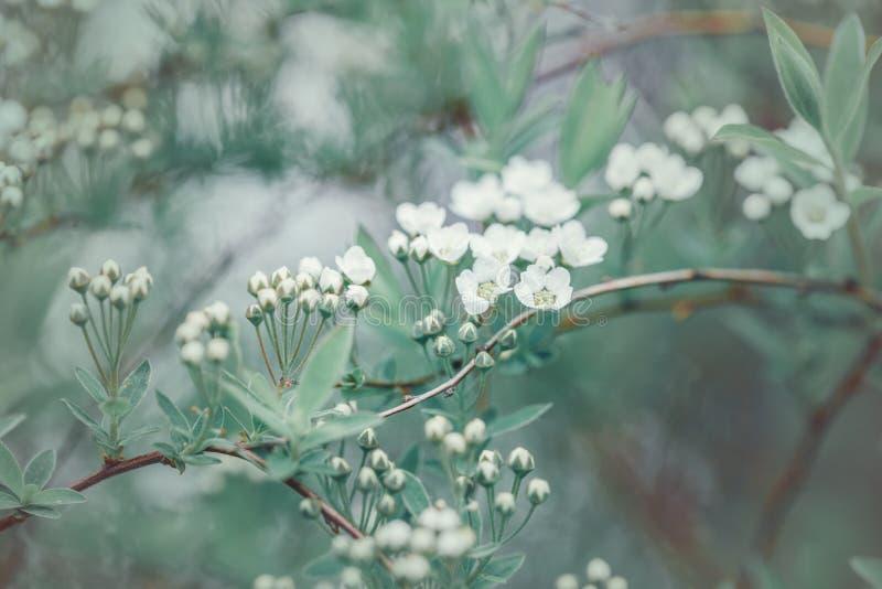 Beaux bourgeons de fleurs de pommiers blancs sur branches d'arbres photographie stock