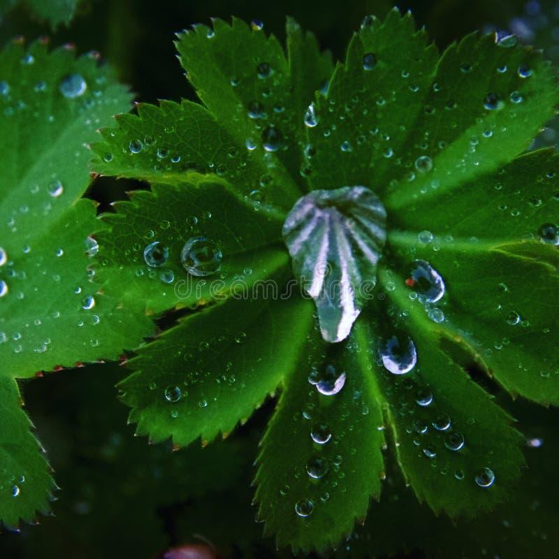 Beaux brops frais de pluie sur une feuille vert clair photos libres de droits
