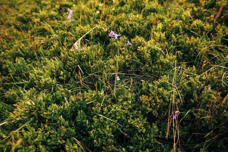 Beaux buissons de myrtilles sur des collines des montagnes ensoleillées wildfl photo libre de droits
