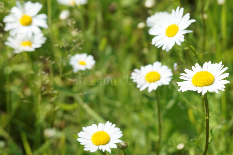Beaux camomiles image stock