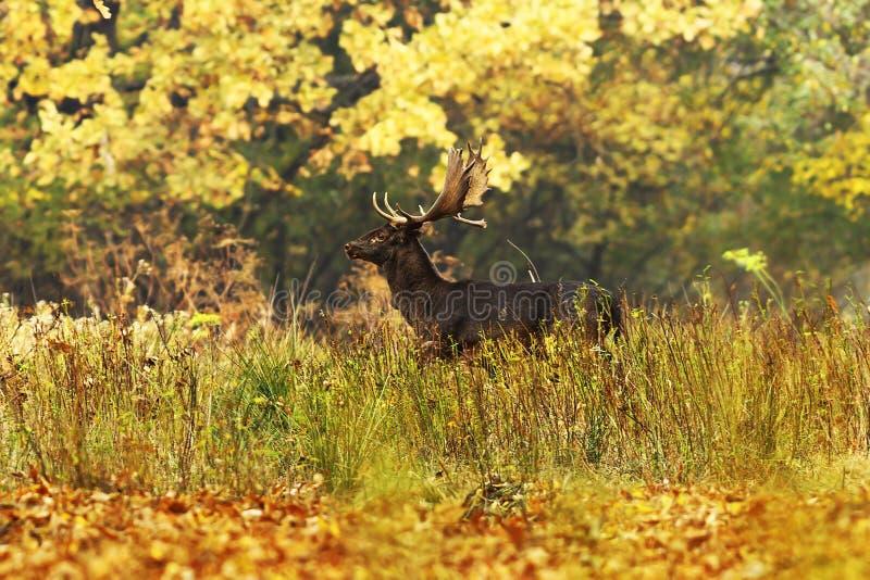 Beaux cerfs communs affrichés dans la forêt d'automne images stock