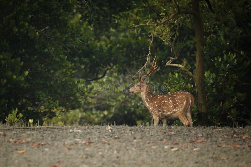 Beaux cerfs communs d'axe de réservation de tigre de Sundarbans dans l'Inde photographie stock libre de droits